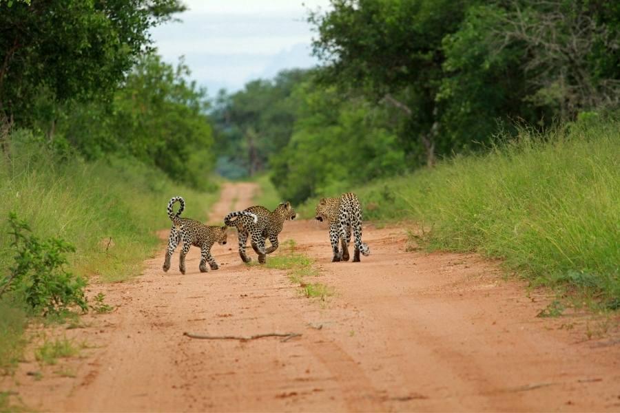 Leopards, Kruger National Park